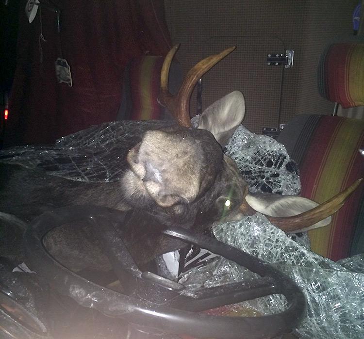 На М6 автобус сбил лося: пробив панорамное стекло, животное оказалось в салоне
