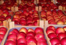 Пресечена незаконная перевозка в Россию 76 т свежих яблок