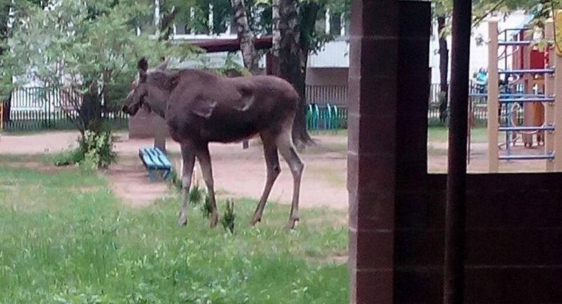 По Минску гулял лось