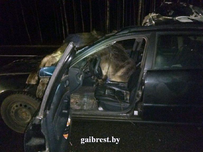 В Брестской области Audi сбил двух лосей