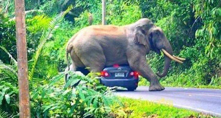 Дикий слон улегся на крышу автомобиля в Тайланде