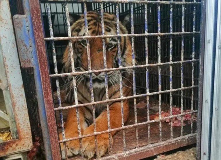 Грузовик с десятью тиграми задержали на польско-белорусской границе